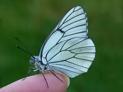 Mariposas a patadas.................... (T.I.T.A.) Tags: macro mariposa tita bolboreta aporiacrataegi pomarina blancadelmajuelo carmensolla bgndaxd carmensollafotografía carmensollaimágenes