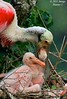 Feeding Time For Roseate Spoonbill Chick (Image Hunter 1) Tags: pink tree nature leaves birds mom louisiana branch adult nest feeding branches mother chick bayou breeding swamp twig greenery marsh twigs juvenile nesting spoonbill plumage roseatespoonbill t2i birdslouisiana canont2i