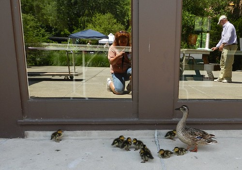 baby ducks2