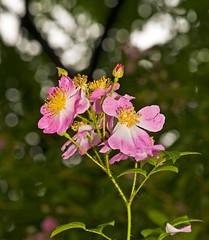 Rosa rugosa Cluster In Pink (aeschylus18917) Tags: danielruyle aeschylus18917 danruyle druyle ダニエルルール ダニエル ルール japan 日本 nikon d700 nature macro 105mmf28gvrmicro 105mmf28 nikkor105mmf28gvrmicro saitamaprefecture 埼玉県 hannō 飯能市 flower 花 flowers season 季節 seasons spring red yellow rose pink rosales rosaceae rosarosarugosarugosarose japaneserose ramanasrose hamanasu ハマナス rosarosarugosa rugosarose rosarugosa bokeh 105mm bud pxt edit