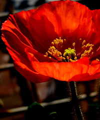 Coquelicot  (Poppy) (Kurlylox1) Tags: light red flower stem furry fuzzy center stamens poppy novel coquelicot lafemmecoquelicot nollechteletromancire
