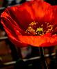 Coquelicot  (Poppy) (Kurlylox1) Tags: light red flower stem furry fuzzy center stamens poppy novel coquelicot lafemmecoquelicot noëllechâteletromancière