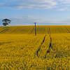CALL CENTER (kenny barker) Tags: sky tree yellow landscape scotland flora post fife here panasonic fields g1 tqm canola rapeseed tistheseason simplybeautiful contemporaryartsociety daarklands sbfmasterpiece sbfgrandmaster netartii