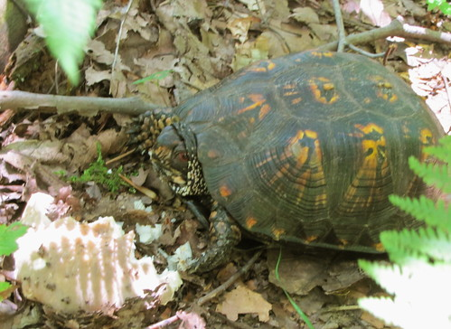 Forbes State Forest Turtle
