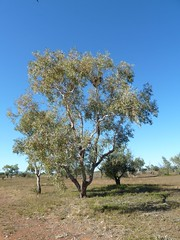 Grey Falcon nest tree