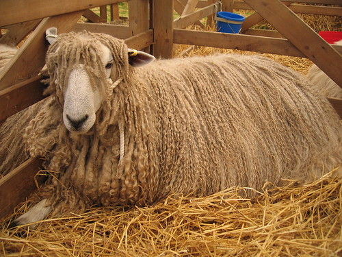Longwool sheep 1