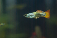 Fish are hard to photograph. (TastyPrawn) Tags: fish aquarium guppy guppies endler livebearer