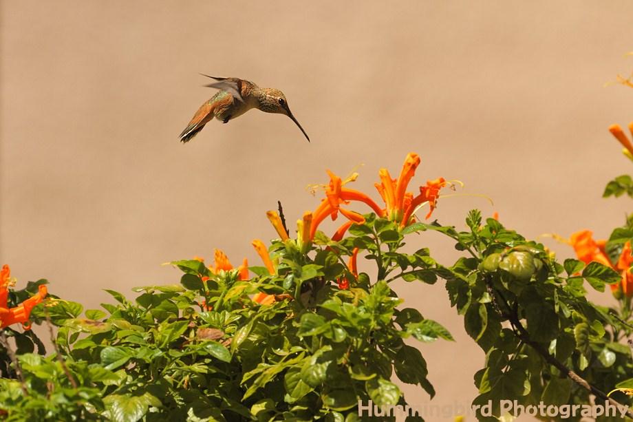 Allen's Hummingbird 071311-4