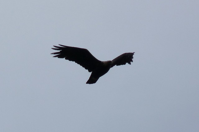 24558 - Golden Eagle, Isle of Mull