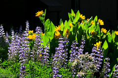 Lupine and Mules Ears (San Francisco Gal) Tags: california ca morning blue light lake flower green yellow blossom tahoe bloom wildflowers lupine mulesears