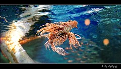 The deadly poser. (nyc dreamer) Tags: lionfish deadly venomous specanimal explore26 50mmf14lens nikond700 sbfmasterpieces