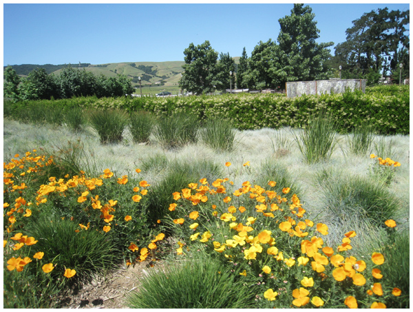 California Poppies at Cornerstone in Sonoma California
