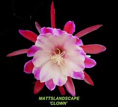 CLOWN Epiphyllum hybrid