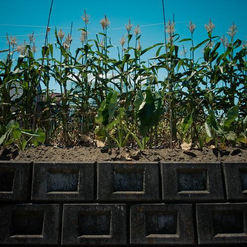 Corn pon Wall