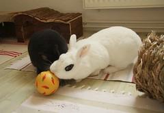 Leckere Ballspiele (blumenbiene) Tags: rabbit bunny bunnies rabbits kaninchen haustiere hasen rammler karnickel zwergkaninchen hsin