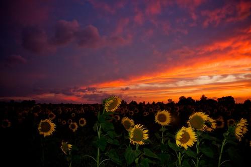 [フリー画像] 花・植物, 向日葵・ヒマワリ, 夕日・夕焼け・日没, 201107221700