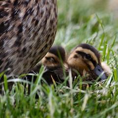 Safe with Mum (nondesigner59) Tags: nature closeup fauna babies july ducks chicks mallard lowperspective wildfowl 2011 eos50d nondesigner nd59 naturesgreenpeace