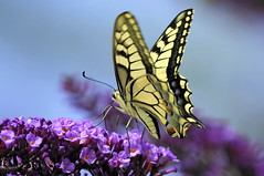 Machaon (jackez2010) Tags: g sony soe ssm 70300 machaon nbw sal70300g flickraward5 flickrawardgallery slta55v a55v sonya55v70300gssm
