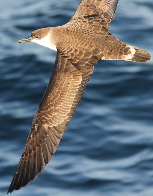 Great Shearwater - east of West Atlantis Canyon, Massachusetts - 16 July 2011