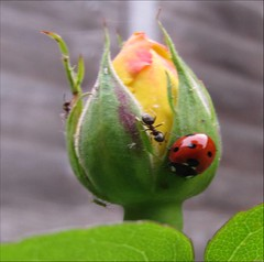 Yellow Rosebud with ants and ladybird (Mirphee) Tags: flowers plants nature insects rosebud ants ladybird floraandforna