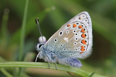 Blue Rinse (Chris*Bolton) Tags: blue ireland nature butterfly insect wings wicklow soe commonblue supershot rathdrum golddragon mywinners citrit theperfectphotographer goldstaraward natureselegantshots artofimages