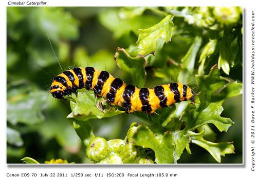 Cinnabar Caterpillar Botany Bay Chorley Lancashire
