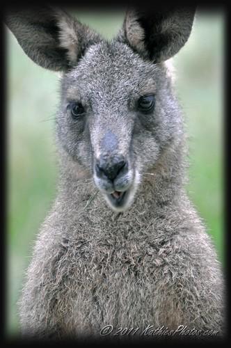 204-365 Kangaroo close up