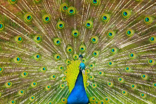 Czech peacock