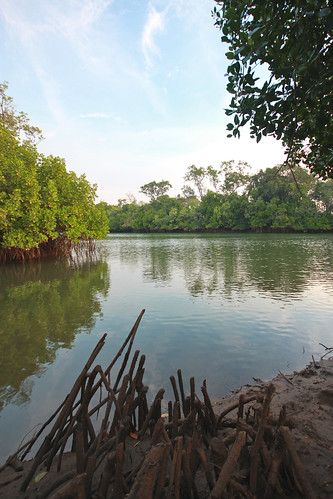 Mangroves at sunset, Embley River