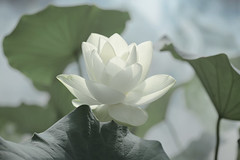 Lotus Flower - IMG_0220-1 (Bahman Farzad) Tags: flower macro yoga fog peace lotus relaxing peaceful meditation therapy lotusflower lotuspetal lotuspetals lotusflowerpetals lotusflowerpetal