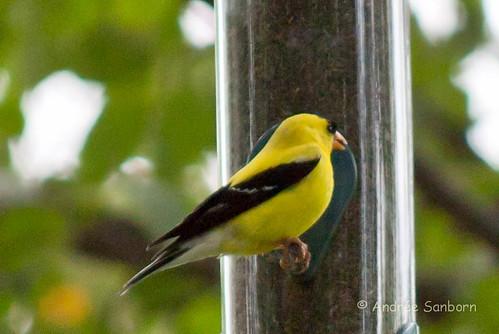 American Goldfinch (Carduelis tristis)-1.jpg