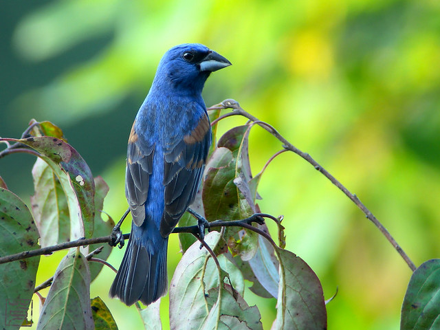 Male Blue Grosbeak, Jul 2011