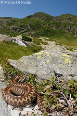 Vipera berus #5, female in its alpine habitat (Matteo - documentation of snakes) Tags: wild italy mountain mountains alps female europa europe italia european reptile snake wideangle natura environment common habitat viper snakes alp alpi montagna lombardia paesaggio reptiles adder poisonous venomous europea selvatico ambiente vibora serpente reptilia vipera comn vbora viperaberus berus rettile veleno serpenti femmina kreuzotter squamata viperidae vipre velenoso viperine marasso obecn pliade ambientata viperinae matteodinicola wwwmatteodinicolacom zmije ofide hugormen
