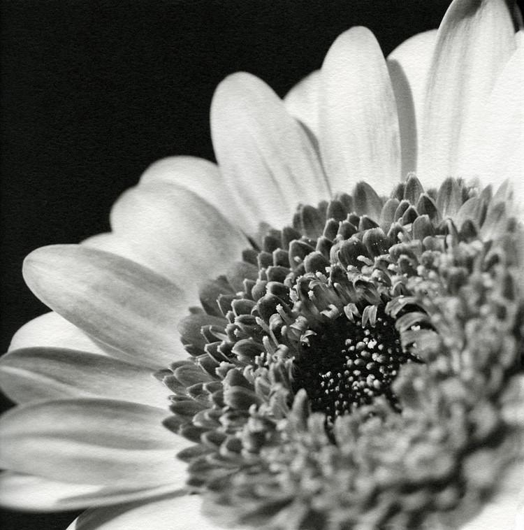 Gerbera Flower (Print)
