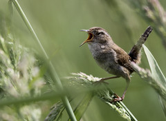 Marsh Wren (Cistothorus palustris) Belting Out A Song (Tom in Tacoma) Tags: bird birds canon sensational birdwatcher marshwren cistothoruspalustris abigfave canon7d specialshotswelltaken