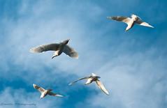 DSC_8114s (savillent) Tags: sky seagulls canada birds nikon gulls north arctic northwestterritories tuktoyaktuk d300s