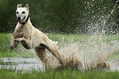 doet ie niet vaak (Wicked posse) Tags: dog greyhound water speed drops run whippet wicked lurcher splah