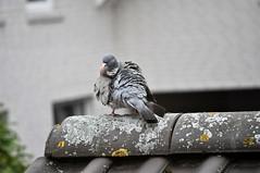 Sturmfrisur (MaretH.) Tags: bird animal funny wind pigeon feathers windy stormy taube tier vogel disheveled windig gefieder zerzaust