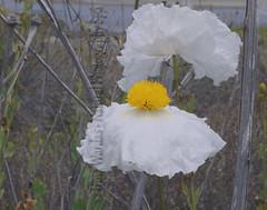 Two Ballerinas (NaturalPhotographySpa) Tags: lake whiteflower matilijapoppy naturephoto whiteandyellow wonderfulworldofflowers