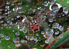 Agelena labyrinthica (Labyrinth spider) (ganglionn) Tags: life wild macro art nature animal animals fauna canon turkey eos spider us is photo kiss all image photos trkiye picture sigma photographic apo turquie trkei dslr predator 70300mm makro biology labyrinth turkije animalia arthropoda trabzon arachnida turqua turchia x3 araneae abdomen  turkki 500d xpress turkiet agelena agelenidae turecko durana toruko turcia yomra labyrinthica colorphotoaward  tp teoki
