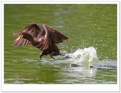 Double Crested Cormorants (Betty Vlasiu) Tags: bird nature cormorants wildlife double crested phalacrocorax auritus