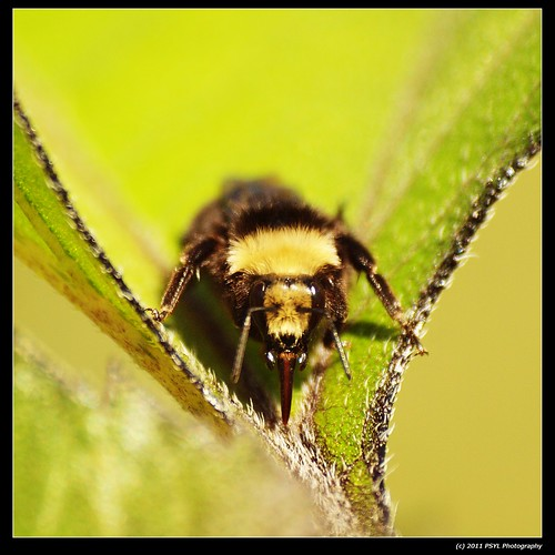 Unknown Bumblebee (Bombus spp.)
