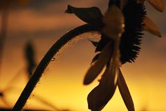 Fim de tarde (Thile Elissa) Tags: macro planta luz sol gua drops nikon laranja flor chuva sombra vermelho gotas amarelo prdosol jardim tarde silhueta florzinha girassol fimdetarde chovia girassis d3000 nikond3000 thileelissa