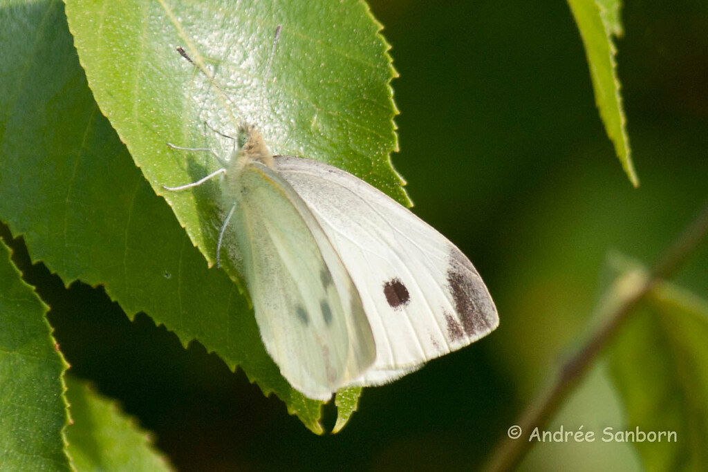 Cabbage White Butterfly-1.jpg