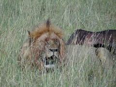 Lion (msafari2425) Tags: kenya lion safari bigfive