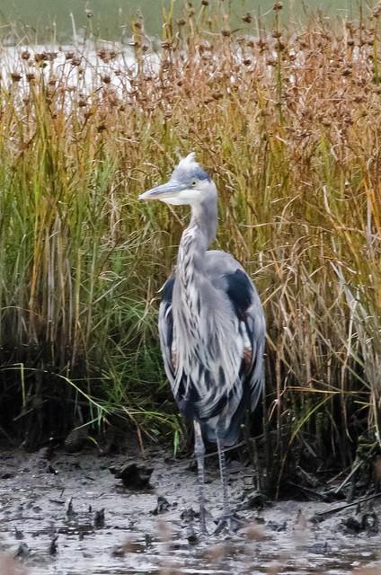 Blue Heron @ Edmonds Marsh