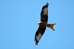 2011-09-28 Red Kite 022 (PeaTJay) Tags: birds birdsofprey redkite carlsbirdclub