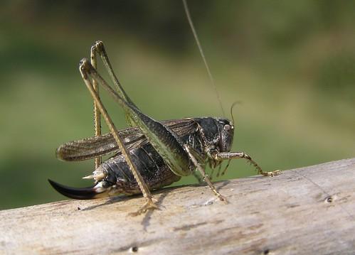 Platycleis albopunctata - Grey Bush-cricket - Decticelle chagrinée -  27/09/11