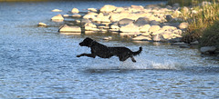 Chien volant (A.S.Photosports) Tags: dog chien france dogs nature river riviere 07 ardeche chiens bordercollies chienetchat vieanimale