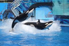 IMG_9757 (biggrey) Tags: holiday water animals canon photography orlando florida whale splash seaworld shamu killerwhales